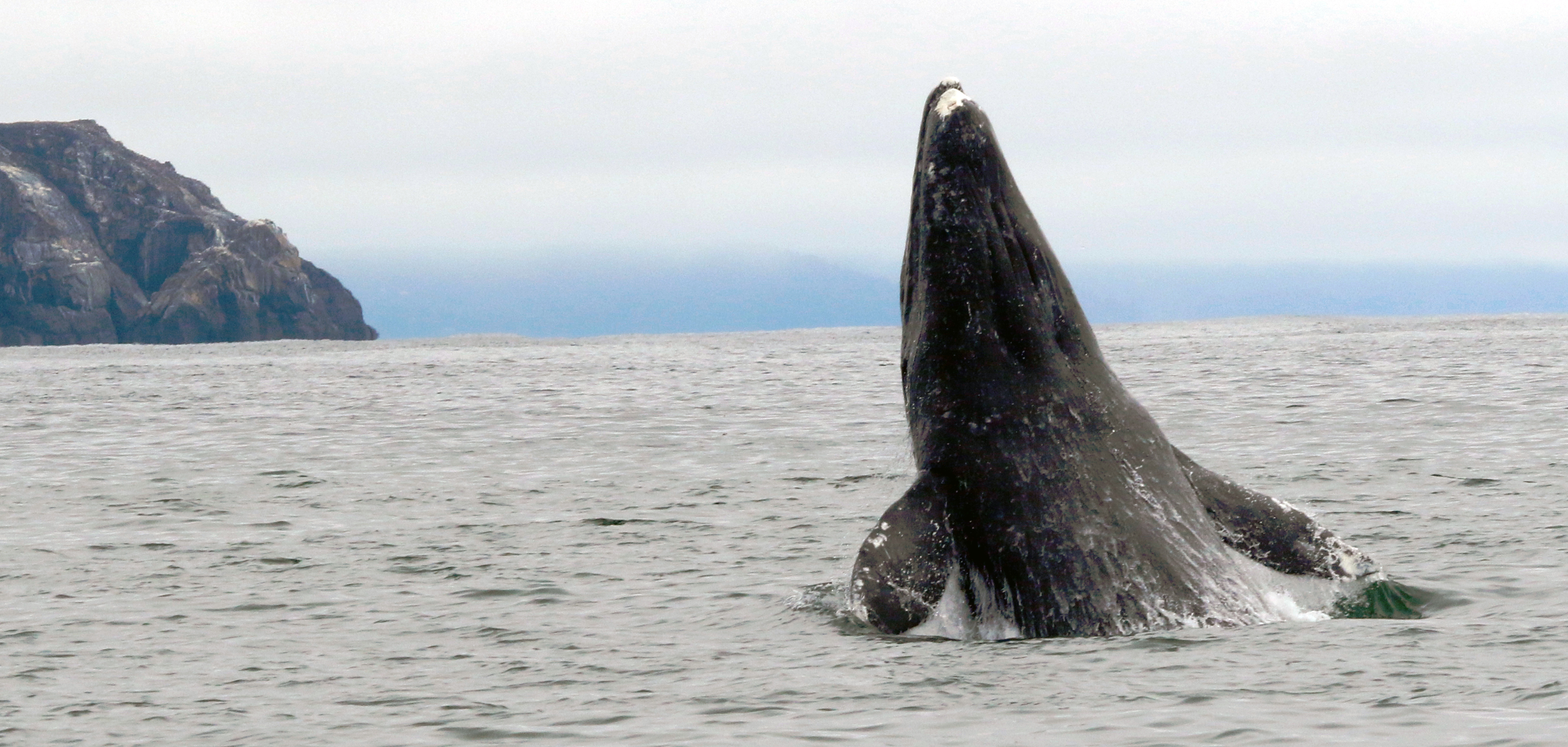 Gray whale breaches